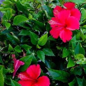 DSCF3633 flor hibisco